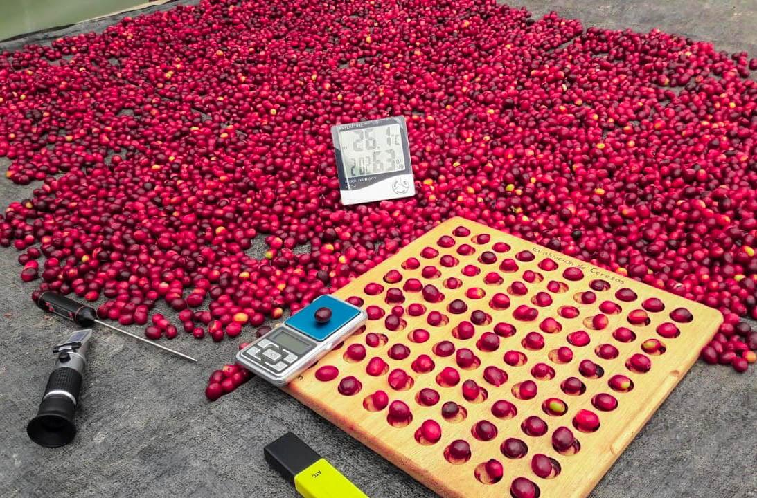 09 - Evaluación de cafe cerezo para la determinación de procesos (proceso natural) donde se evaluó grados brix, peso del cerezo, temperatura y humedad relativa.
